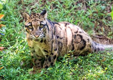 intuitive animal communication—clouded leopard